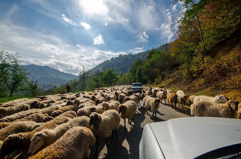 voiture parmi les moutons en Albanie, voyager et vacances en Albanie